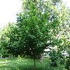 PterocaryaFraxinifolia8.jpg 1167 x 875 px 370.52 kB
