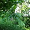 PterocaryaFraxinifolia9.jpg 1167 x 875 px 299.06 kB