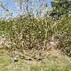 PterostyraxHispidus.jpg 638 x 850 px 218.61 kB