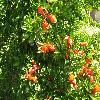 PunicaGranatum15.jpg 1110 x 833 px 260.83 kB
