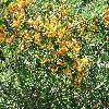 Pyracantha2.jpg 1024 x 768 px 323.46 kB