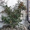 PyracanthaCoccinea3.jpg 1167 x 918 px 746.78 kB