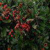 PyracanthaCoccinea5.jpg 1224 x 918 px 697.75 kB