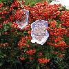 PyracanthaOrangeGlow.jpg 576 x 768 px 145.46 kB