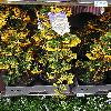 PyracanthaSoleilDOr.jpg 576 x 768 px 167.12 kB