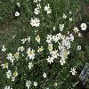 PyrethrumCinerariifolium.jpg 1024 x 768 px 233.18 kB