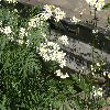 PyrethrumCorymbosum2.jpg 1024 x 768 px 232.1 kB