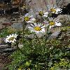 PyrethrumRichterioides2.jpg 531 x 800 px 352.13 kB