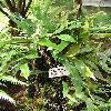 PyrrosiaAngustata2.jpg 576 x 768 px 146.98 kB