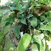 Pyrrosia.jpg 1127 x 845 px 193.63 kB