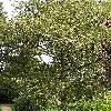 Quercus3.jpg 576 x 768 px 212.15 kB