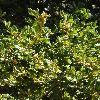 QuercusAgrifolia2.jpg 900 x 1200 px 557.1 kB