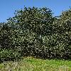 QuercusAgrifolia3.jpg 797 x 1200 px 553.32 kB