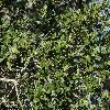 QuercusAgrifolia4.jpg 1200 x 900 px 559.23 kB