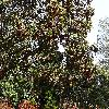 QuercusAlba2.jpg 1219 x 914 px 532.35 kB