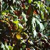QuercusAlba3.jpg 1219 x 914 px 250.76 kB