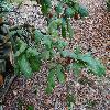 QuercusAlba4.jpg 1024 x 768 px 296.42 kB
