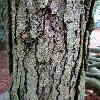 QuercusAlba6.jpg 720 x 960 px 443.15 kB