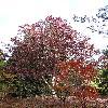 QuercusAlba7.jpg 720 x 960 px 464.54 kB