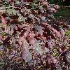 QuercusAlba8.jpg 720 x 960 px 446.53 kB