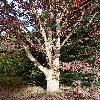 QuercusAlba9.jpg 720 x 960 px 563.13 kB