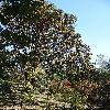 QuercusAlba.jpg 681 x 908 px 289.25 kB