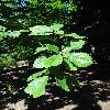 QuercusAlienaAcuteserrata2.jpg 720 x 960 px 360.92 kB