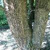 QuercusAlienaAcuteserrata3.jpg 720 x 960 px 494.53 kB