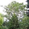 QuercusAlienaAcuteserrata.jpg 720 x 960 px 480.14 kB