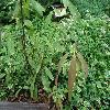 QuercusBambusifolia2.jpg 1127 x 845 px 220.15 kB