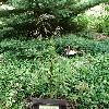 QuercusBambusifolia.jpg 630 x 840 px 200.7 kB