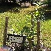QuercusBicolor.jpg 576 x 768 px 168.44 kB