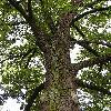 Quercus.jpg 576 x 768 px 191.31 kB