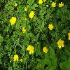 RanunculusAcris3.jpg 1024 x 768 px 235.76 kB