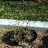 RanunculusAcris.jpg 681 x 908 px 279.27 kB