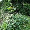 ReynoutriaJaponica.jpg 1223 x 917 px 415.07 kB