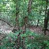 RhamnusCathartica2.jpg 681 x 908 px 464.82 kB