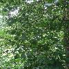 RhamnusCathartica5.jpg 681 x 908 px 431.41 kB
