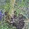 RhamnusFrangulaAsplenifolia.jpg 576 x 768 px 193.79 kB