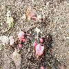 RheumRhabarbarum4.jpg 1086 x 815 px 305.22 kB