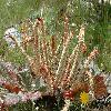 RheumSpiciforme2.jpg 800 x 532 px 348.21 kB