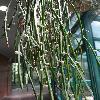 RhipsalisMicrantha2.jpg 681 x 908 px 301.74 kB