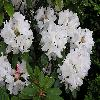 Rhododendron10.jpg 1024 x 768 px 150.66 kB