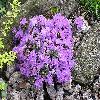 Rhododendron14.jpg 1024 x 768 px 291.36 kB