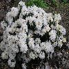 Rhododendron16.jpg 1024 x 768 px 226.61 kB
