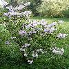 Rhododendron20.jpg 630 x 840 px 191.99 kB