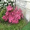 Rhododendron22.jpg 1120 x 840 px 292.27 kB