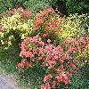 Rhododendron4.jpg 1024 x 768 px 239.98 kB