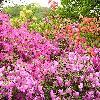 Rhododendron7.jpg 1024 x 768 px 289.48 kB