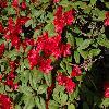 RhododendronBadenBaden.jpg 1024 x 768 px 198.58 kB
